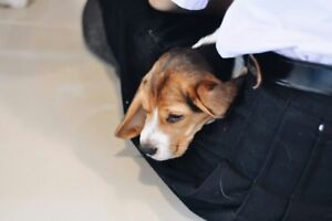 Trained beagle puppies cat friendly