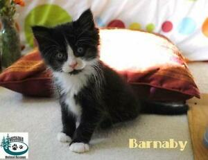 "Baby Male Cat - Domestic Medium Hair: ""Barnaby - Loves Humans!"""