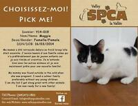 """Young Female Cat - Domestic Short Hair: """"Maggie"""""""