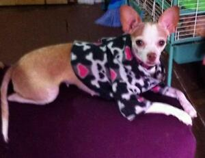 """Adult Female Dog - Chihuahua: """"SCOTA BONDED PAIR WITH TORIN"""""""