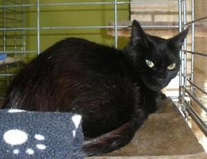 "Young Female Cat - Domestic Short Hair: ""Velvet 16 (PN 284)"""