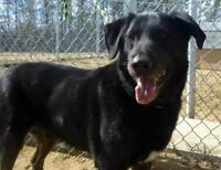 "Adult Male Dog - Shepherd-Labrador Retriever: ""Hunter"""