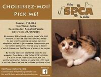 """Young Female Cat - Domestic Short Hair: """"Callie"""""""