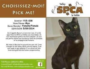"Adult Female Cat - Domestic Short Hair: ""Mya"""