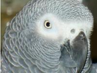 African grey hen