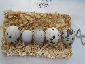 Quail eggs Fertile Jumbo & Giant & Goliath Ferny Grove Brisbane North West Preview