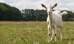 Need person work goat farm