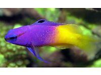 MARINE FISH / LOVELY LITTLE ROYAL GRAMMA FEEDING WELL