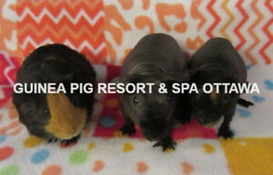 MANON HOME BOARDING GUINEA PIG/SKINNY PIG  ALL INCLUDED