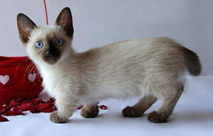 Looking for a Munchkin cat or kitten
