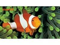2 x Clownfish