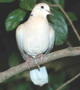 FREE FREE FREE WHITE DOVE MALE STILL BABY CANNOT FLY YET