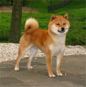 **Wanted** Shiba Inu puppy Stuart Park Darwin City Preview