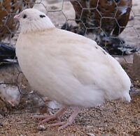 Looking for a female quail