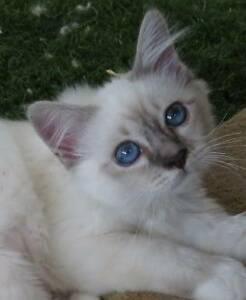 Lovely Blue point Birman  & a Blue Tabby point Female kitten Glass House Mountains Caloundra Area Preview