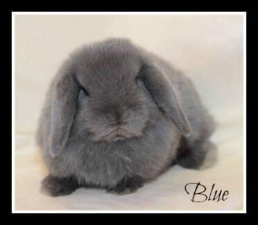 Mini Lop Rabbit - Pure Bred Banksia Grove Wanneroo Area Preview