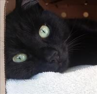 "Adult Male Cat - Domestic Short Hair: ""Phantom"""