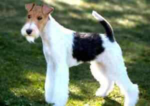 SEARCHING FOR WIRE FOX TERRIER