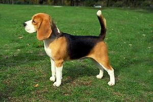 I am looking for a beagle to give a great home!!!
