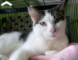 "Adult Female Cat - Domestic Short Hair: ""Macey"""