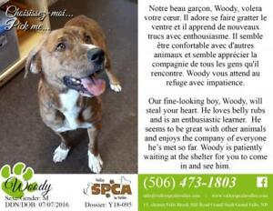 "Adult Male Dog - Boxer: ""Woody"""