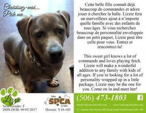 "Adult Female Dog - Dachshund-Pit Bull Terrier: ""Lizzie"""