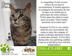 "Young Male Cat - Domestic Short Hair: ""Ti-Gris"""
