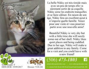 "Young Female Cat - Domestic Short Hair: ""Nikky"""