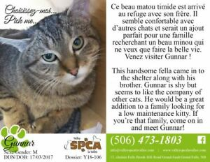 "Adult Male Cat - Domestic Short Hair: ""Gunnar"""