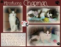 "Baby Female Cat - Domestic Short Hair: ""Chapman"""