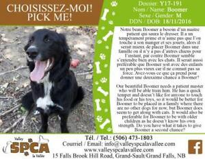 Young Male  - Bernese Mountain Dog-Labrador Retriever