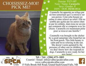 "Adult Female Cat - Domestic Short Hair: ""Caramelle"""