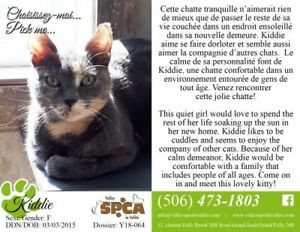 "Adult Female Cat - Domestic Short Hair: ""Kiddie"""