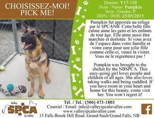 "Adult Female Dog - German Shepherd Dog: ""Pumpkin"""
