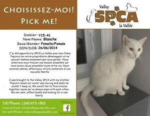 """Adult Female Cat - Domestic Short Hair-white: """"Blanche"""""""