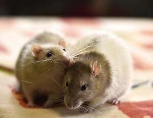 "Adult Male Small & Furry - Rat: ""Willy & Gulliver"""