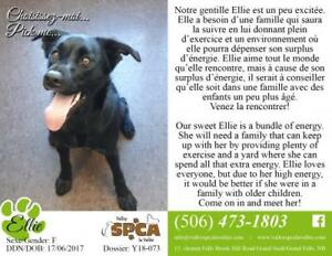 "Young Female Dog - Black Labrador Retriever: ""Ellie"""