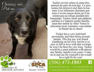 "Adult Male Dog - Black Labrador Retriever: ""Tucker"""