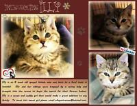 """Baby Female Cat - Domestic Short Hair: """"Illy"""""""