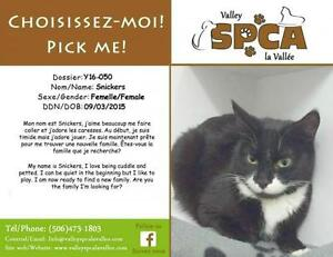 "Adult Female Cat - Domestic Short Hair: ""Snickers"""