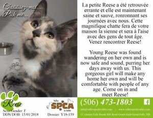 "Baby Female Cat - Domestic Short Hair: ""Reese"""