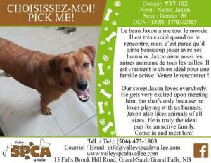 "Adult Male Dog - Retriever: ""Jaxon"""