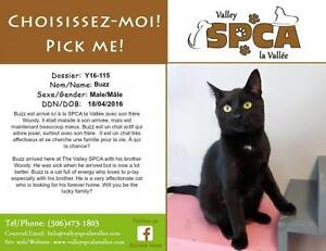 """Young Male Cat - Domestic Short Hair: """"Buzz"""""""