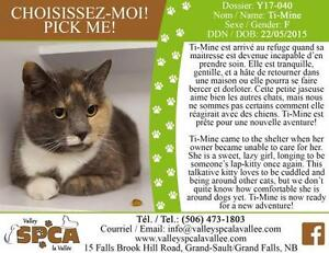 "Adult Female Cat - Domestic Short Hair: ""Ti-Mine"""