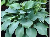 Perennial Hosta plants