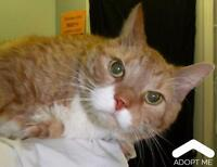 "Senior Male Cat - Domestic Short Hair: ""Whiskers"""