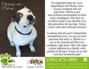 "Adult Female Dog - Pit Bull Terrier: ""Micha"""