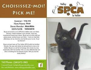 """Baby Male Cat - Domestic Short Hair: """"Buzz"""""""