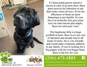 "Adult Male Dog - Black Labrador Retriever: ""Buzz"""