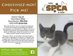 """Baby Male Cat - Domestic Short Hair: """"Oliver"""""""